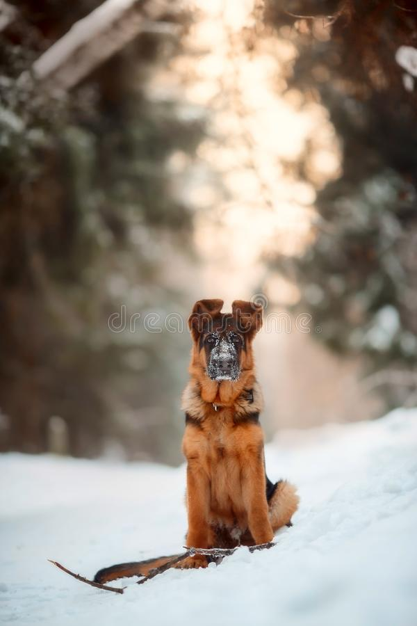 Red german shepard puppy winter portrait. Red cute german shepard 4-th months puppy portrait at snow at the winter stock photo