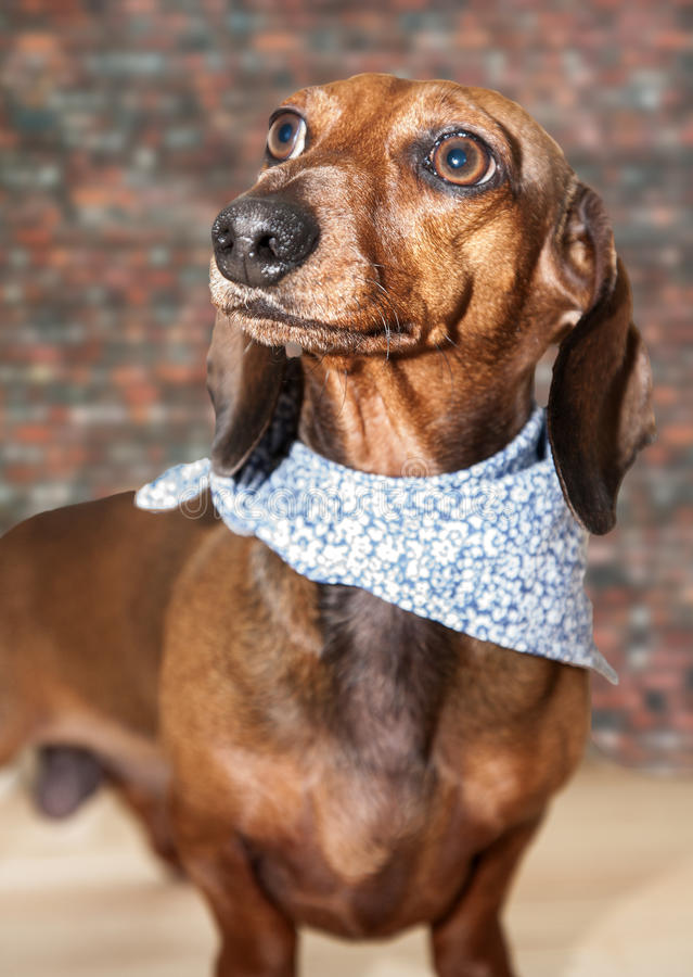Red dachshund dog with sun glasses or bow tie scarves. Red dachshund dog with sun glasses or bow tie handkerchiefs over wooden table royalty free stock image
