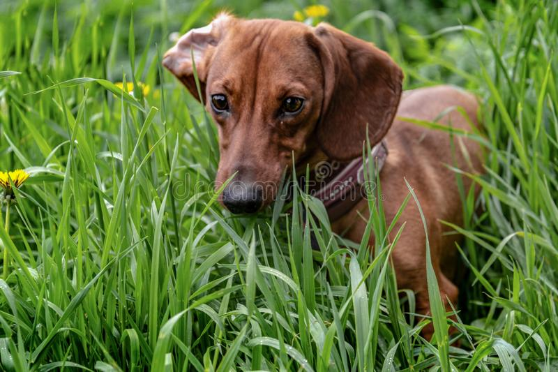 Red dachshund in green grass with dandelions. stock photography