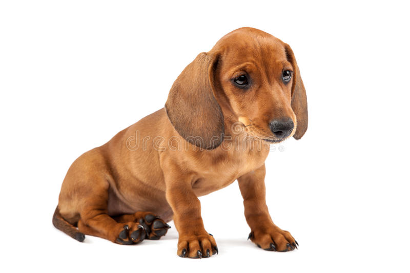 Red dachshund puppy on white background. Red dachshund puppy isolated on white background royalty free stock images