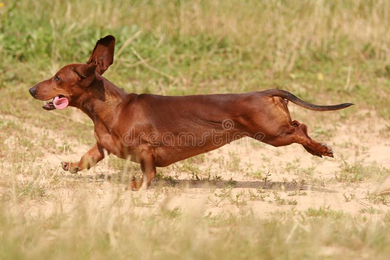 Red dachshund running in the grass royalty free stock photography