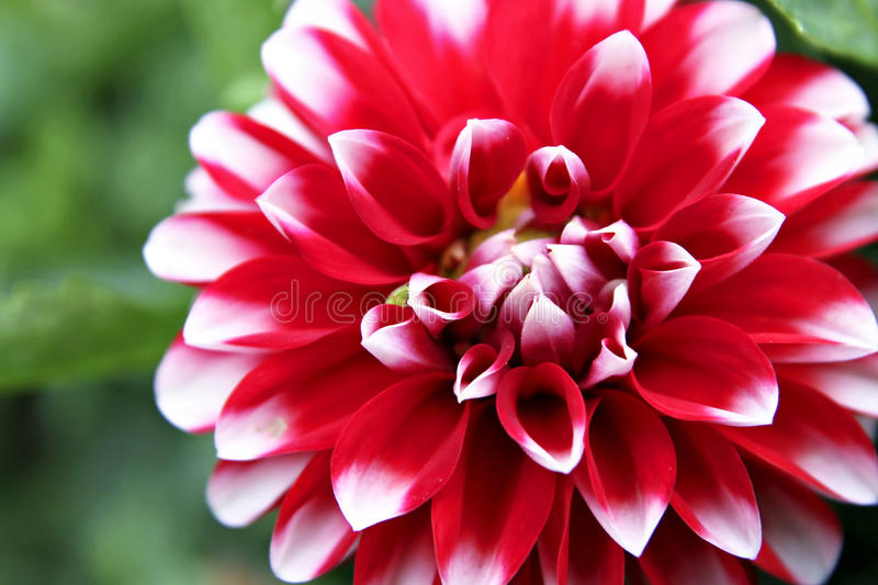 Download Red Dahlia stock photo. Image of white, garden, flower - 17046786