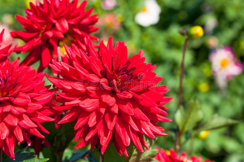 Red dahlia blooms royalty free stock photos