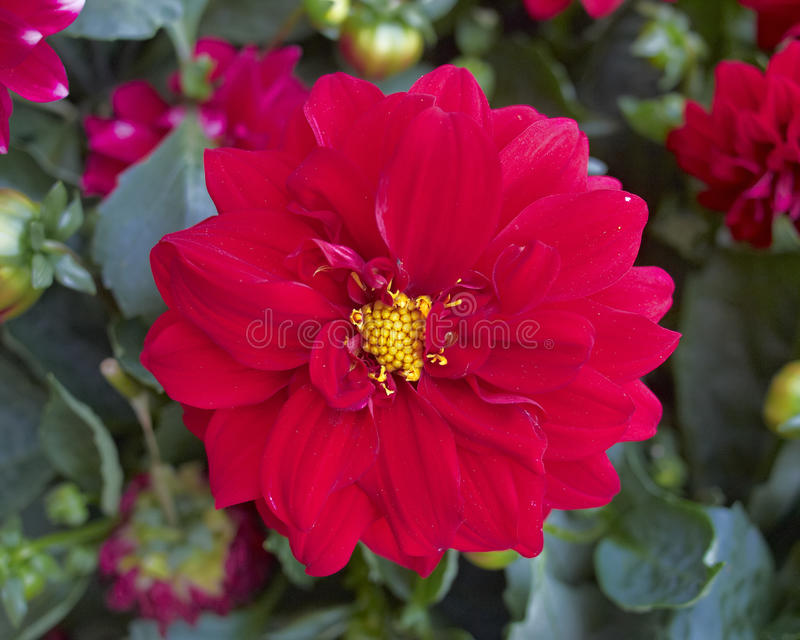 Download Red dahlia closeup stock image. Image of asterid, color - 25393263