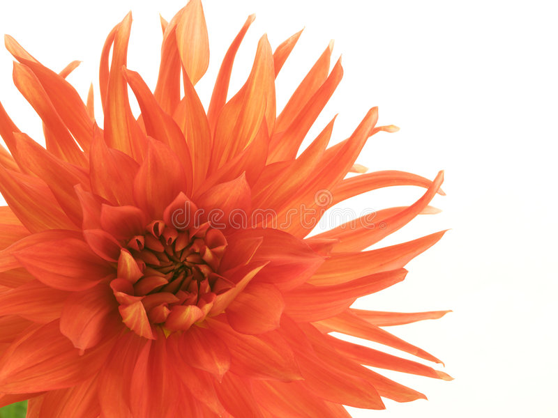 Red dahlia in the corner stock images