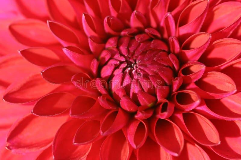 Red Dahlia flower. A close up of a red dahlia flower