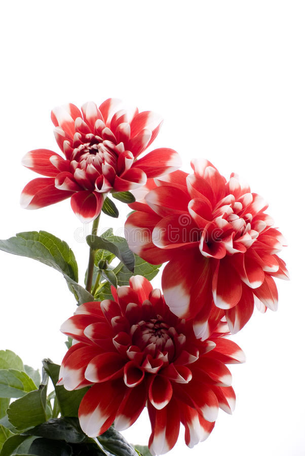 Free Red Dahlia Flower Stock Images - 24127814