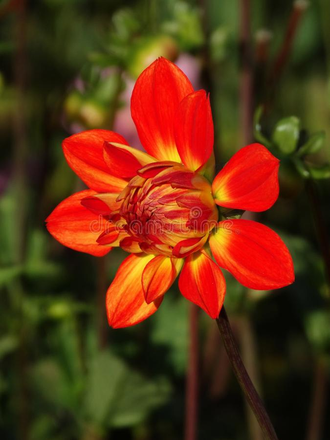 Red Dahlia Flower Free Public Domain Cc0 Image