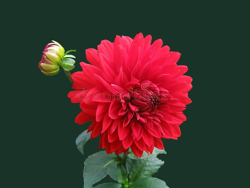 Red Dahlia Flower royalty free stock photo
