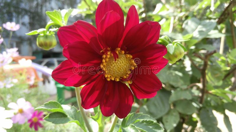 A red dahlia flower with a bright yellow core royalty free stock photo