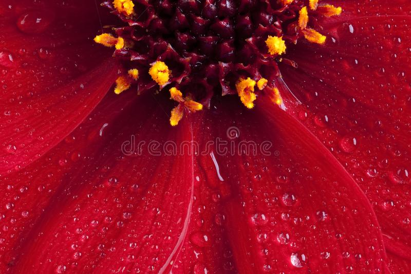 Red Dahlia flower close up with water drops. Beautiful macro close up of a red Dahlia Happy Days flower, petal and stamen in full bloom with water drops stock image