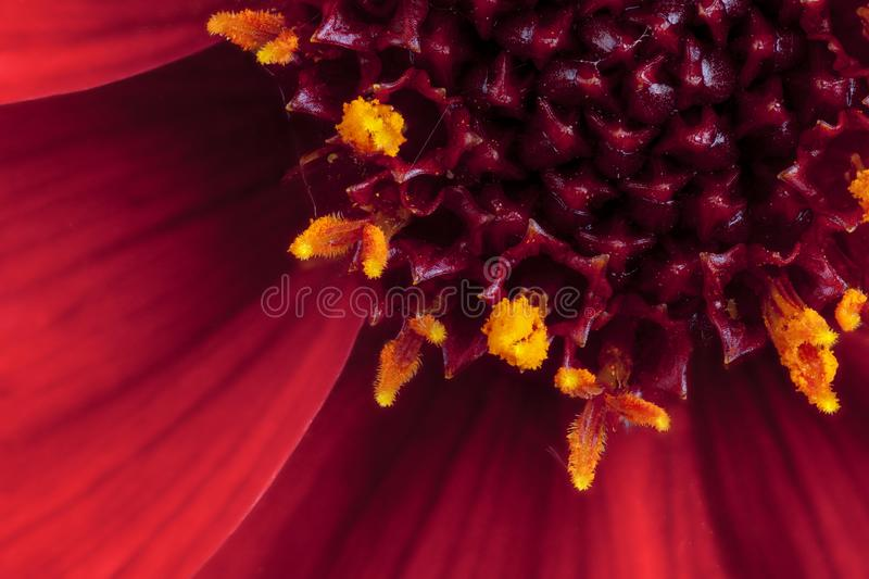 Red Dahlia flower in extreme macro. Beautiful macro close up of a red Dahlia Happy Days flower, petal and stamen in full bloom royalty free stock photo
