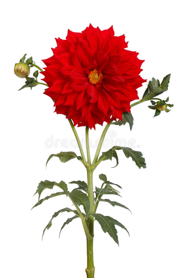 red dahlia flower with a stem and bud stock image