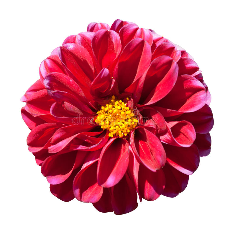 Free Red Dahlia Flower With Yellow Center Isolated Stock Images - 15988494