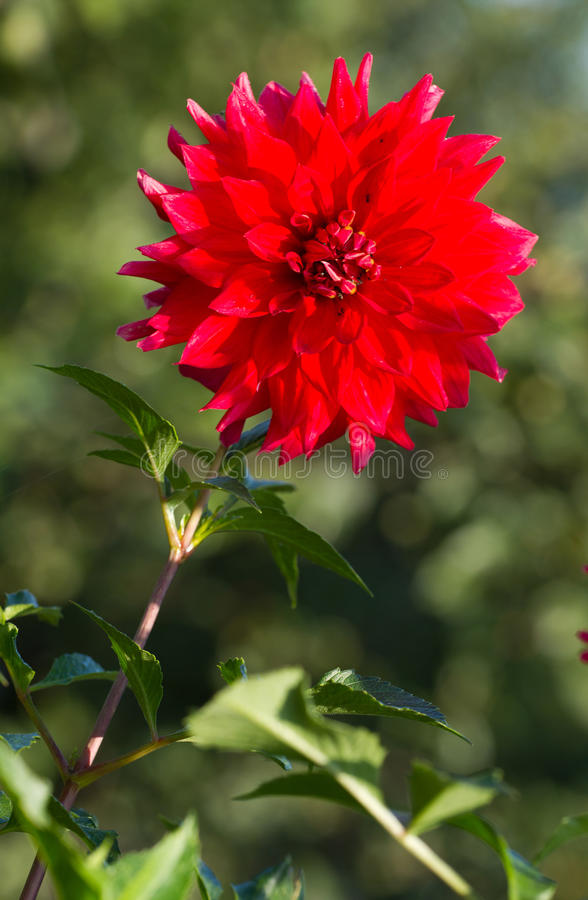Download Red Dahlia stock image. Image of pretty, blooming, sweet - 38512441