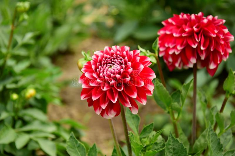 The red dahlia. In the garden royalty free stock image