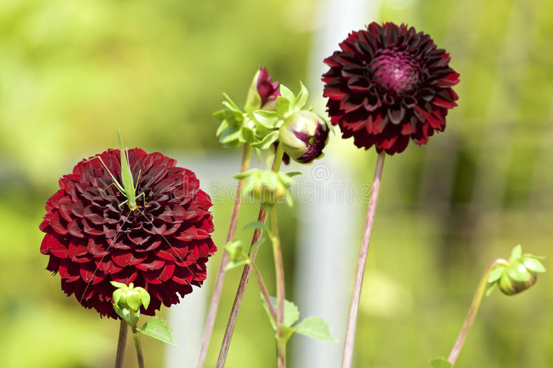 Red dahlia with grasshopper royalty free stock photography