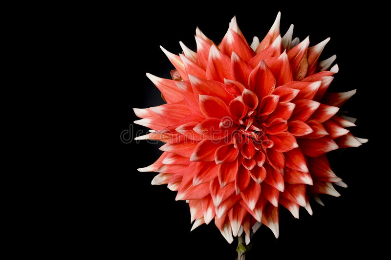 Red Dahlia isolated on black stock photo