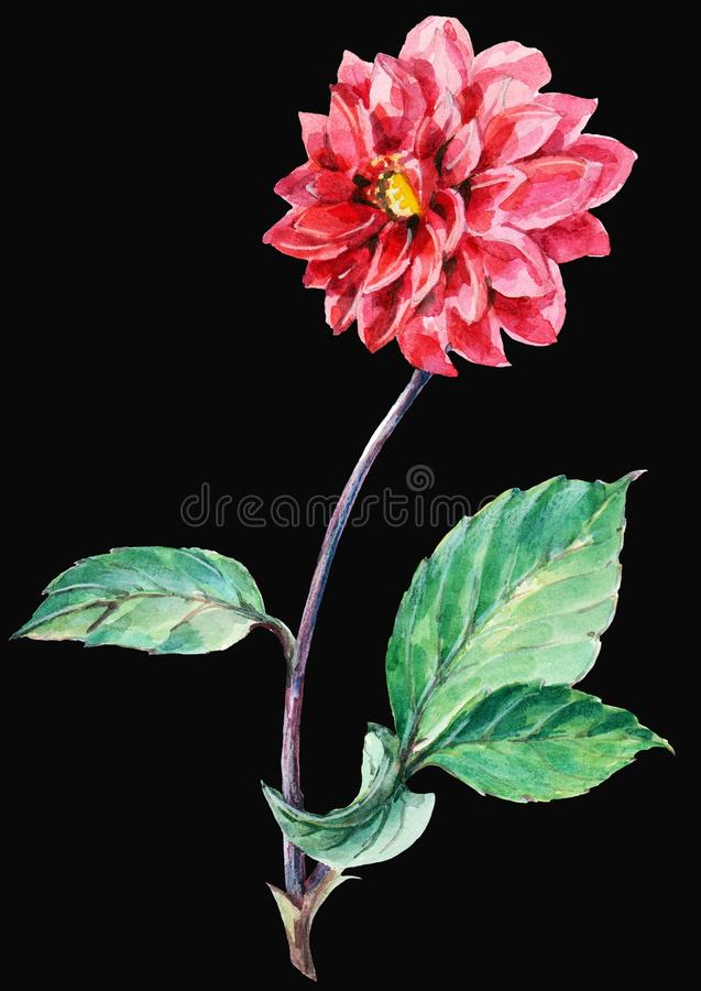 Red dahlia, watercolor. Red dahlia black background watercolor handmade vector illustration