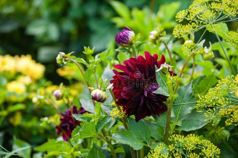 Red dahlias in the garden stock image