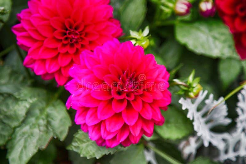 Red dahlias royalty free stock image