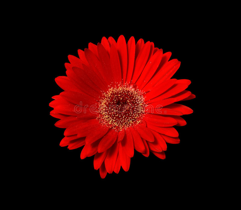 Red Daisy stock photography