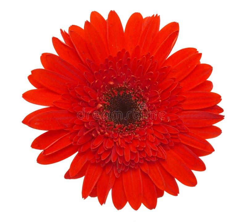 Red Daisy Flower Stock Image Image Of Flowerstem Leaf 1778301