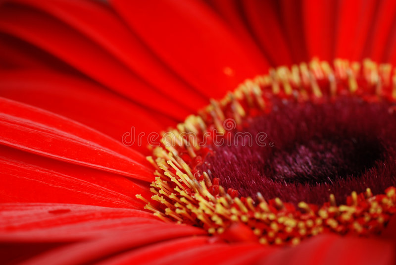 Red daisy flower macro royalty free stock image