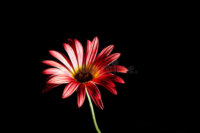 Red daisy on green stem. stock images