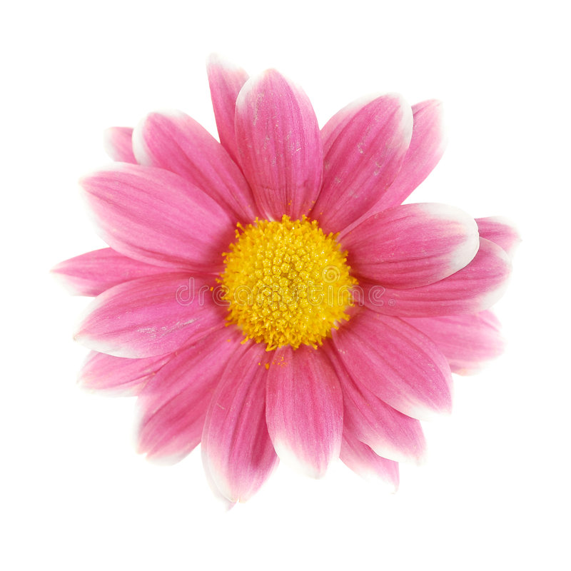 Red Daisy Isolated Stock Images