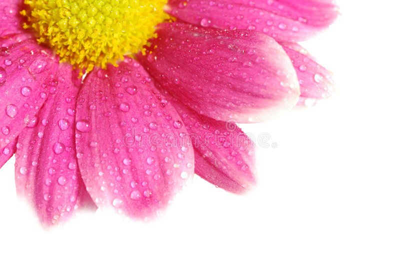 Red daisy isolated with copyspace [clipping path] stock image