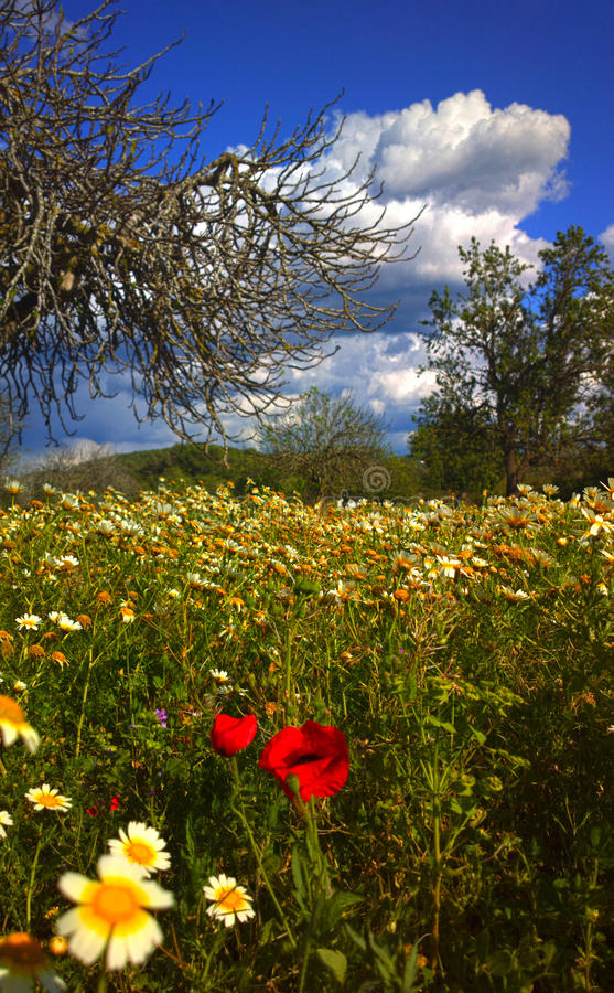 Red daisyes in a field of winter flowers in Ibiza stock photography