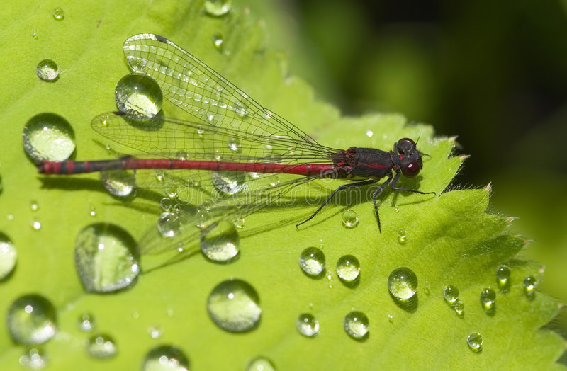 Red Damselfly with dew drops stock image