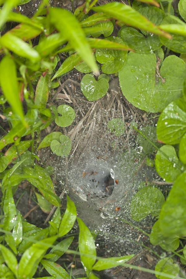 Red de la araña del Embudo-Web foto de archivo libre de regalías