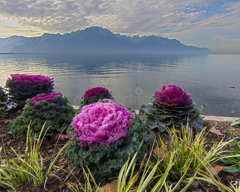 Red decorative cabbage on lake geneva HDR image stock image