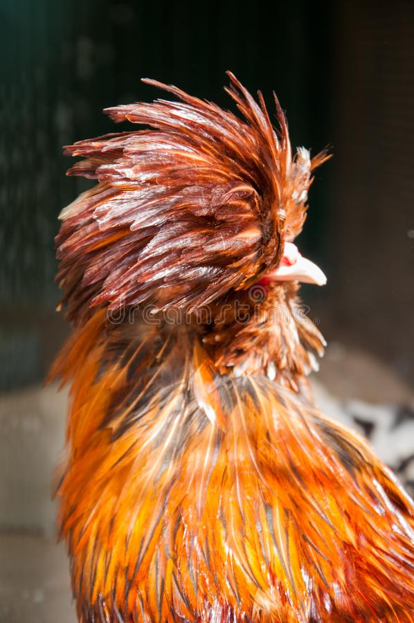 Red decorative chicken or rooster. Kholhatai breed chickens The head is covered with feathers. Red decorative chicken or rooster. Kholkhatai chicken breeds The royalty free stock photo