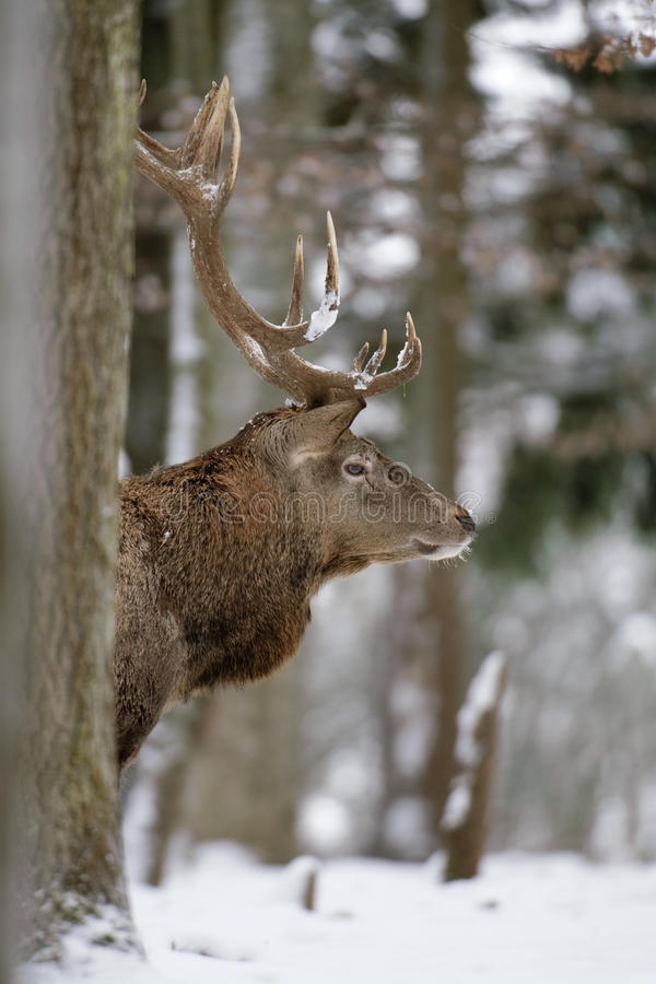 Download Red deer stock photo. Image of male, forest, wildlife - 18428800