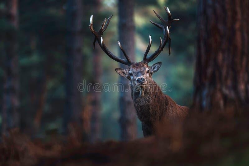 Red deer with big antlers looking towards camera. stock photo