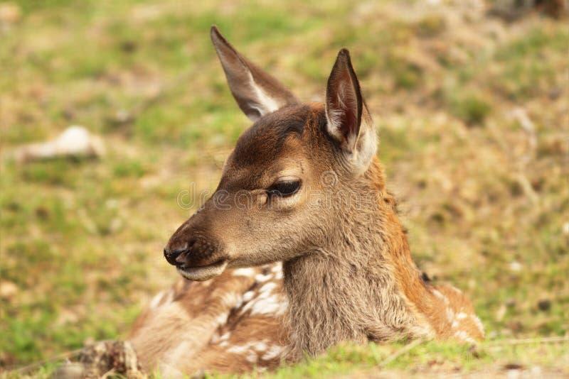 Red deer calf, cervus elaphus royalty free stock image