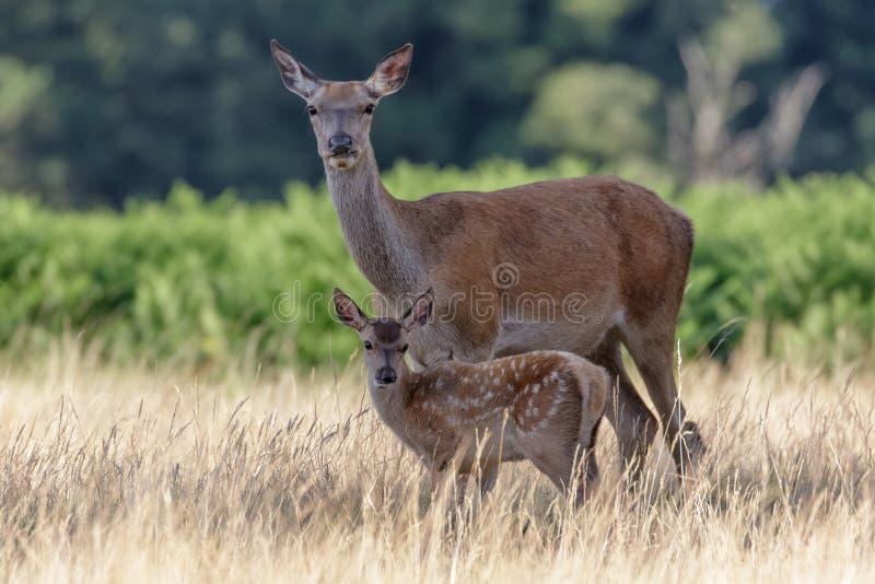 Red Deer (Cervus elaphus) calf with mother stock images