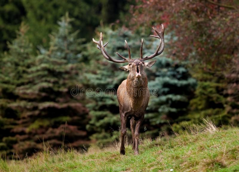 Red deer, cervus elaphus, Czech republic. Antler, trophy, deer, male, wild, roar royalty free stock image