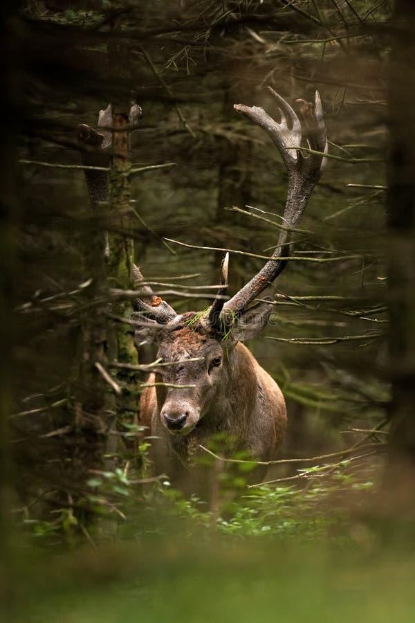 Red deer, cervus elaphus, Czech republic. Deer in autumn. Roar male. Wildlife, life. Trophy male. King of the forest royalty free stock image
