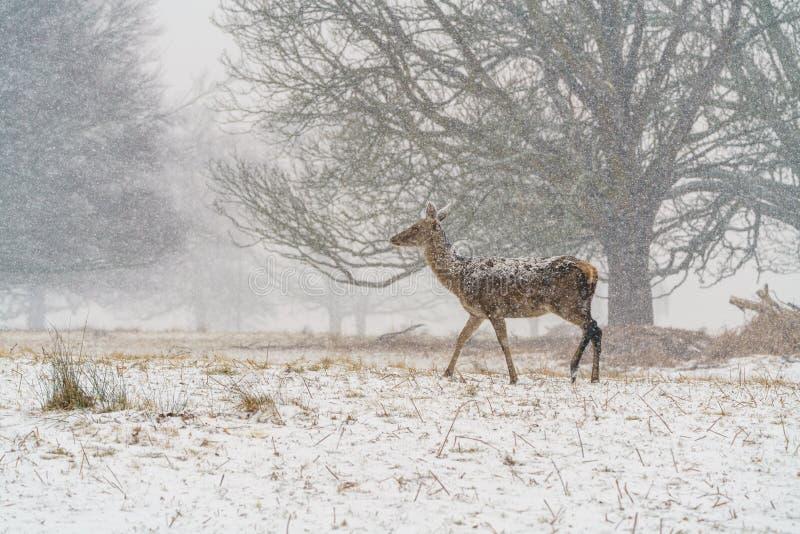 Red deer (Cervus elaphus) doe in snow, taken in England stock images