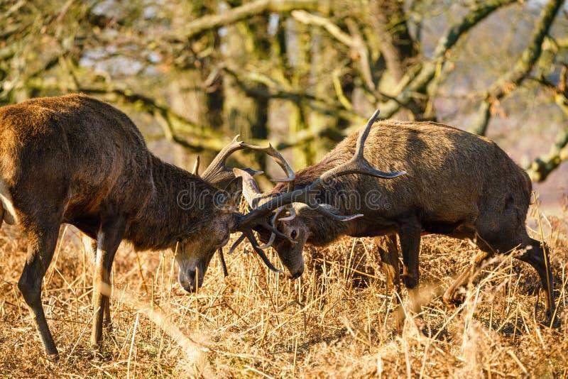 Red deer (Cervus elaphus) locking antlers, taken in the UK stock photos