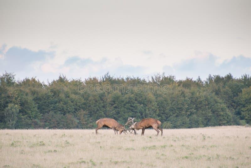Red deer, Cervus elaphus in rutting season in Denmark stock photos