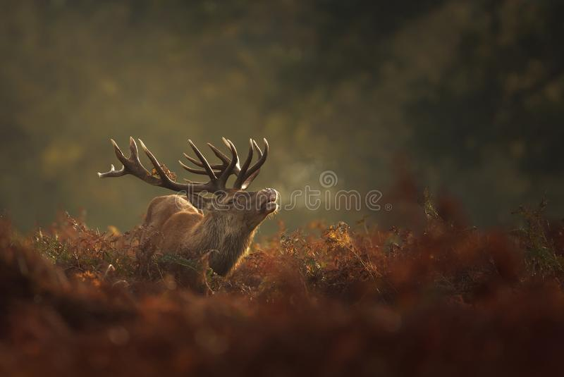 Red Deer stag during rutting season with breath condensing on a misty autumn morning stock photography