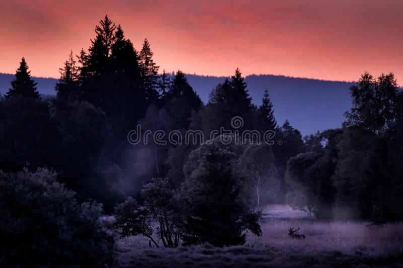 Red deer, Cervus elaphus, in Sumava National Park, Czech Republic, Europe. Cold misty morning, pink twilight sunset in the forest royalty free stock image