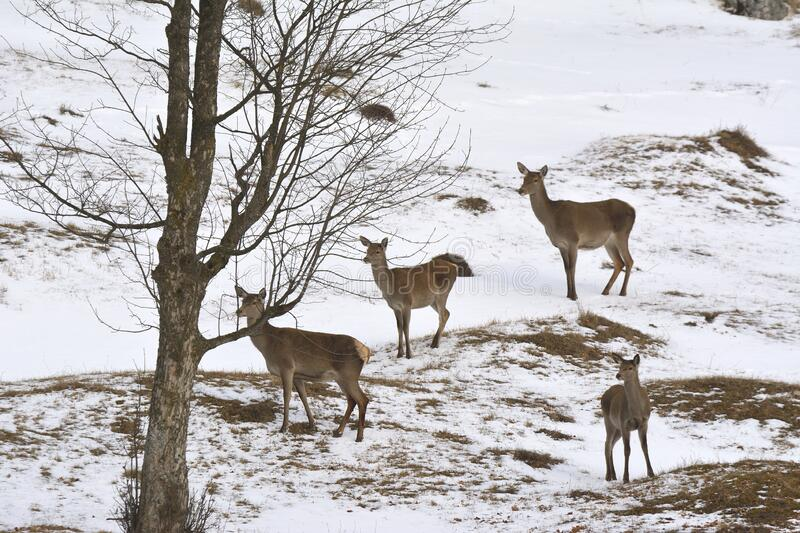 Red deer, Cervus elaphus in winter season stock photography