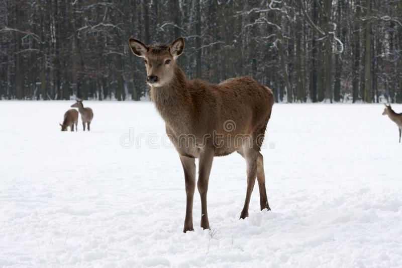 Red Deer on a Cold wintry day in snow stock image