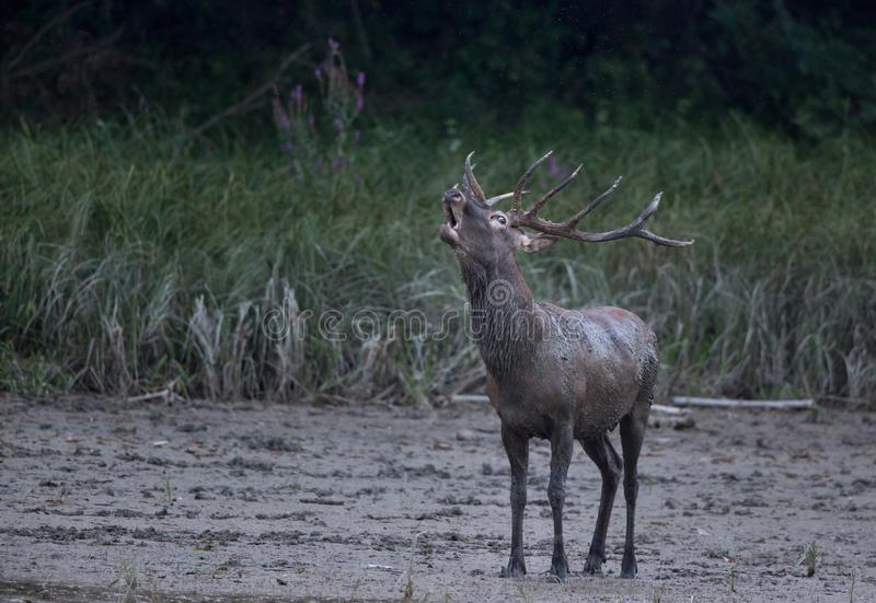 Red deer roaring in forest on river muddy coast royalty free stock image